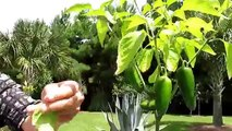 How to grow Hot Peppers. Tips on growing Hot Peppers.  Growing Chiles 101 for newer gardeners
