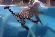 Amazing Panther Swimming and Fishing in the Pool Leopard Hunting / Wild Animals Hunting