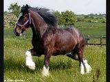 Heavy Horses are beautiful!! (Tribute to heavy horse breeds)