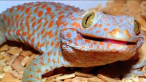 Lizard Tribute One: Tokay Gecko / Lizard - Tribute.