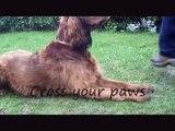 29 Advanced dog tricks for trick dog title