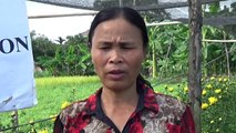Phân bón Silic Đông Sơn - Ngọc Toàn Limex: Silic Đông Sơn bón cho cây hoa cúc