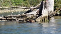 Grizzly Bear fishing in the Great bear Rainforest