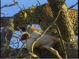 Leopard mom and cub in tree with impala kill