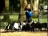 Funny animals Shocking Fainting Goats News Report Funny Goat Compilation of Screaming Goat