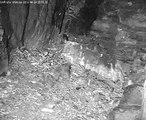 """SWR Uhu Webcam 24.04.2013: Uhu-Weibchen versteckt Ratte im """"Kühlschrank"""""""