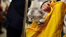 Scottish fold kitten !
