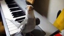 Un perroquet siffle la musique de mon voisin totoro