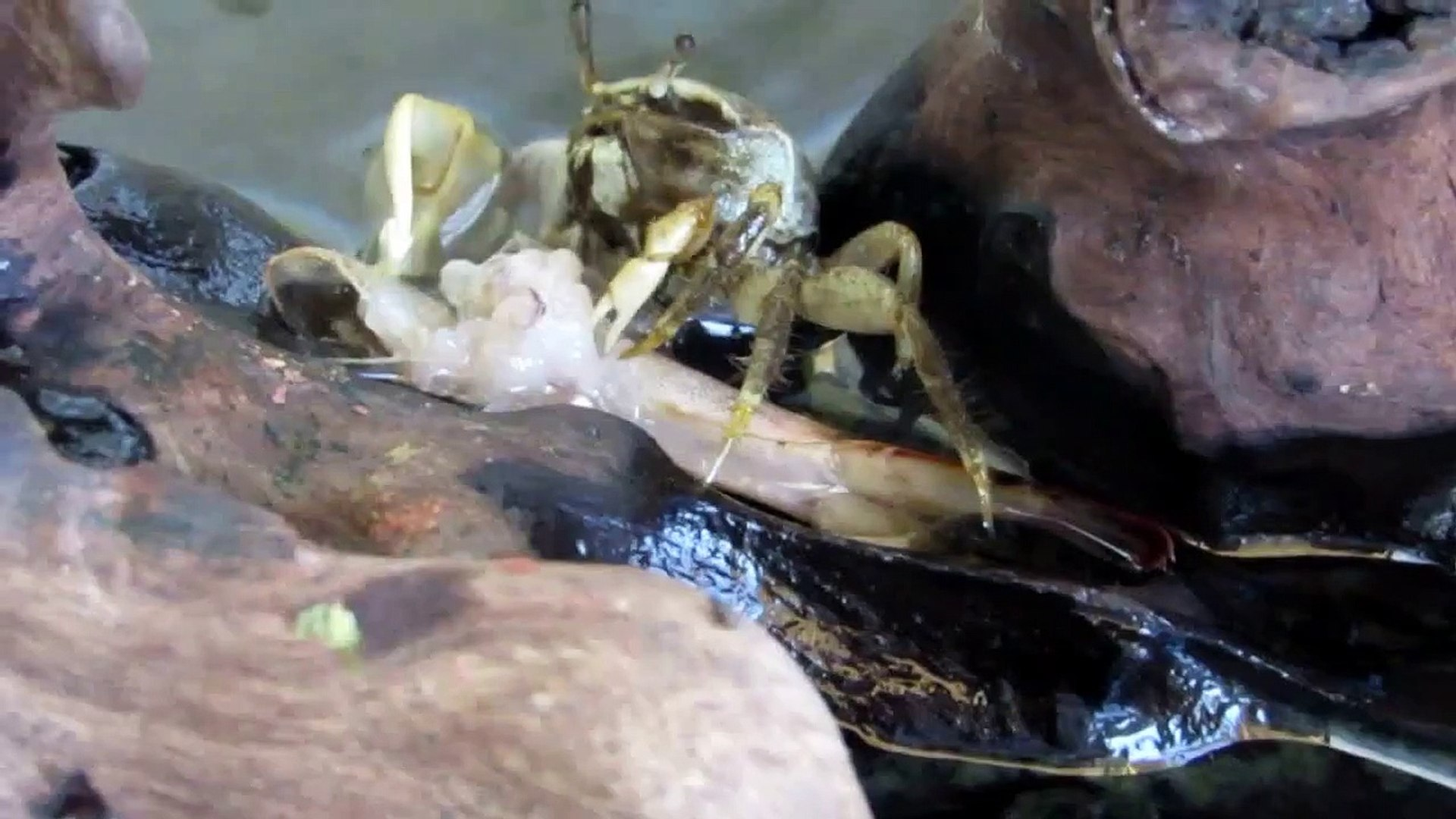 caranguejo 'chama-maré' comendo camarão no aquário