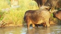 Horn and claw. Buffalo kills the lion and lion kills the buffalo