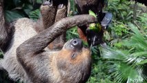 Two-toed sloth & Large flying fox sharing fruits