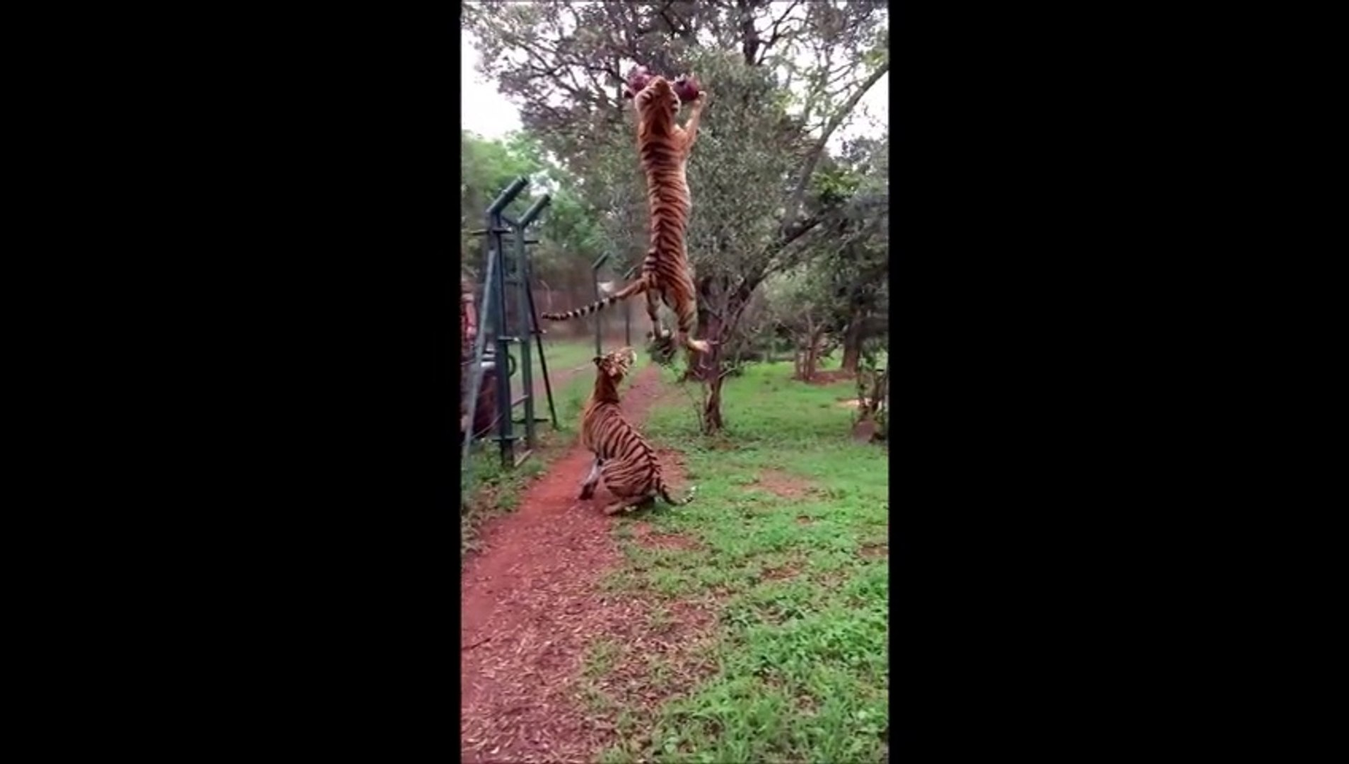 Tiger Make Awesome Jump - Amazing ! - Невероятный Тигр ! ЖЕСТЬ !