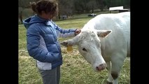 Young Sanctuary visitor pets sweet elderly cow