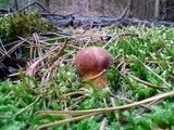 Sezon Grzybowy 2008 Grzyby Grzybobranie Grzyb Las Grzybki w lesie 2012 na pilze funghi porcini houby