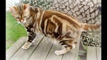 Cat Breeds ,  Large Cat Breeds
