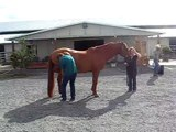 """See how easily Mason holds this hock flexion?  """"Mason"""" flexion test- right hind again"""