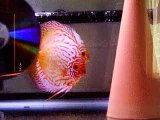Pigeon Blood Discus Pair/Straited Turquoise Pair