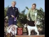 Parson Russell Terrier/Jack Russell Grand Champion, Blue Ridge's TNT Pandemonium