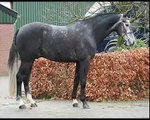 **SOLD** 4yrs Hunter prospect, KWPN dutch warmblood