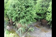 HH Farm Spruce Trees 5 to 6 ft Tall