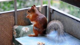 The squirrel in a city. Белка в городе. 2