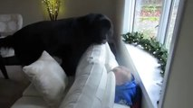 Girl plays hide and seek with giant dog