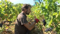 Vendanges à l'Île-d'Olonne : Rencontre avec les saisonniers