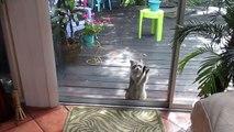 Un raton laveur frappe à la porte pour avoir à manger