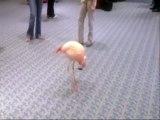 Flamingo dances to Bagpipes Music!