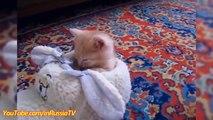 Des VIDÉOS DRÔLES: Drôle de Chatons à s'Endormir - Drôle de chat Chaton Vidéos Drôles Compilation