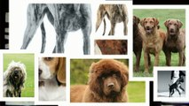 Large Dog Breeds Thats OK To Have Around Infants