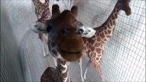 Des girafes très très curieuses! Adorable...