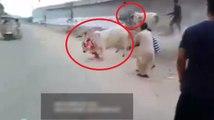 Cow escape video