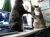 Deux chats jouent à trois petits chats !