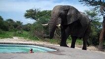 Que fait un éléphant qui a soif ? Il va boire dans une piscine