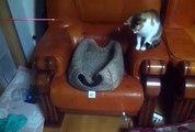 Un chat essaye de pêcher un autre chat avec une canne à pêche