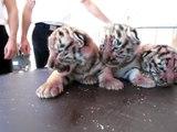 Naissance de quatre bébés tigres dans l'Oise