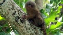 Cet adorable ouistiti pygmée adore se faire caresser par sa brosse à dents