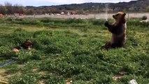 Un ours arrose un chien avec un tuyau d'arrosage