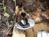 Vous n'avez jamais vu un singe faire la vaisselle ? Maintenant c'est fait !