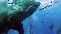 """Voici le requin """"Deep Blue"""", le plus gros au monde"""