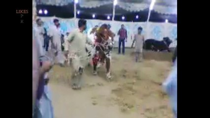 Biggest TWIN bulls for bakra eid
