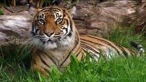 Nouvelle-Zélande: le tigre meurtrier ne sera pas abattu