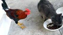 Петух отбирает еду у кота чем всё закончится!