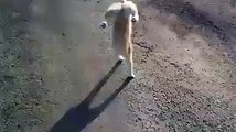Cat walk on Two Legs amazing Talent by cat must watch amazing video 2015
