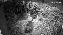 Naissance rare au Zoo de Londres : 3 tigres de Sumatra!