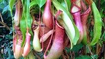 La dissection d'une plante carnivore