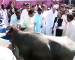 Cow Attacked CM Sindh Qaim Ali Shah | Cow Hit Qaim Ali Shah CM Sindh Full Video