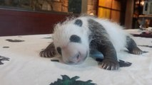 Endangered Month Old Panda Making Strides After Twin Dies