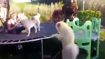 Husky and Samoyed playing pleap !